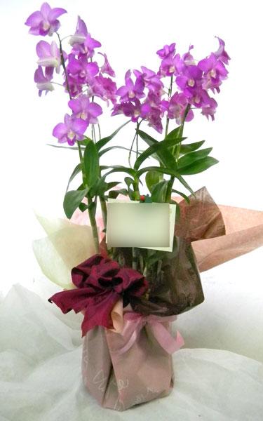 デンファレの鉢植えギフト