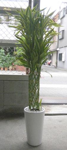 ミリオンバンブーの鉢植えギフト