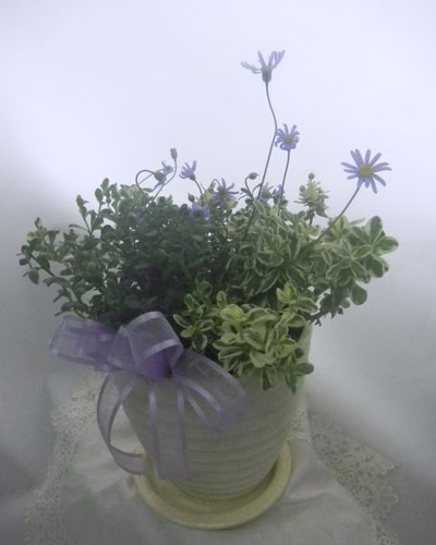 ブルーデージーの鉢植えギフト