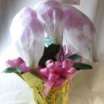 胡蝶蘭のギフト鉢