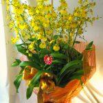 オンシジウムの鉢植えギフト
