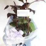 カンナの鉢植えギフト