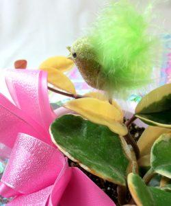 桜蘭(サクララン)の鉢植えギフト