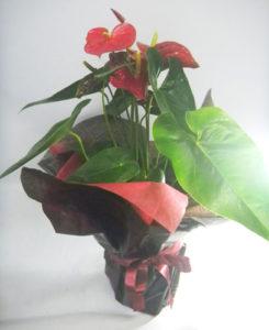 アンスリウムの鉢植えギフト