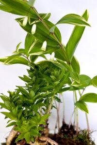 桔梗と鳴子百合の盆栽風鉢植えギフト