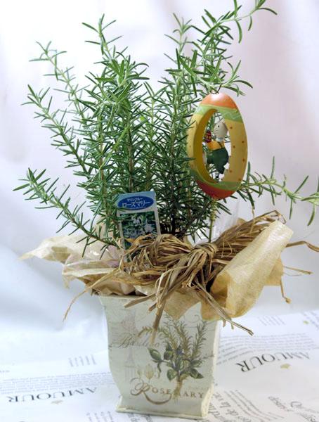 ローズマリーの鉢植えギフト